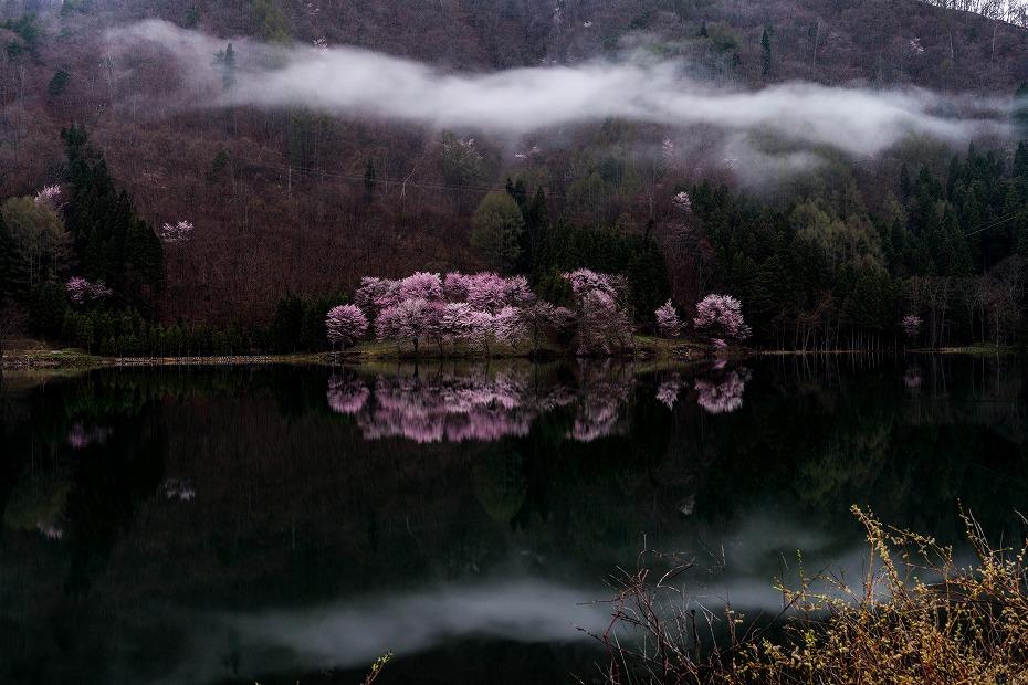 2016.04.23中綱湖のオオヤマザクラ4