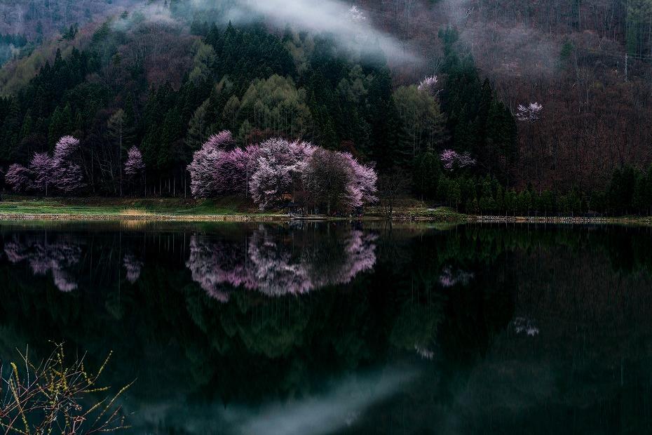 2016.04.23中綱湖のオオヤマザクラ2