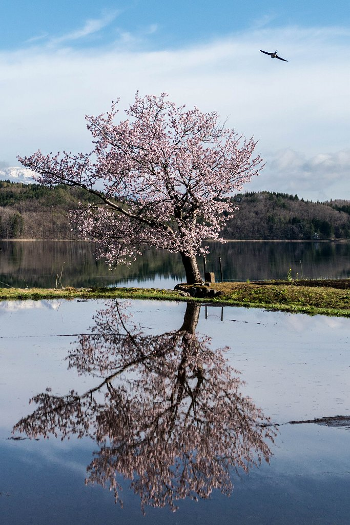 2016.04.23青木湖の一本桜4