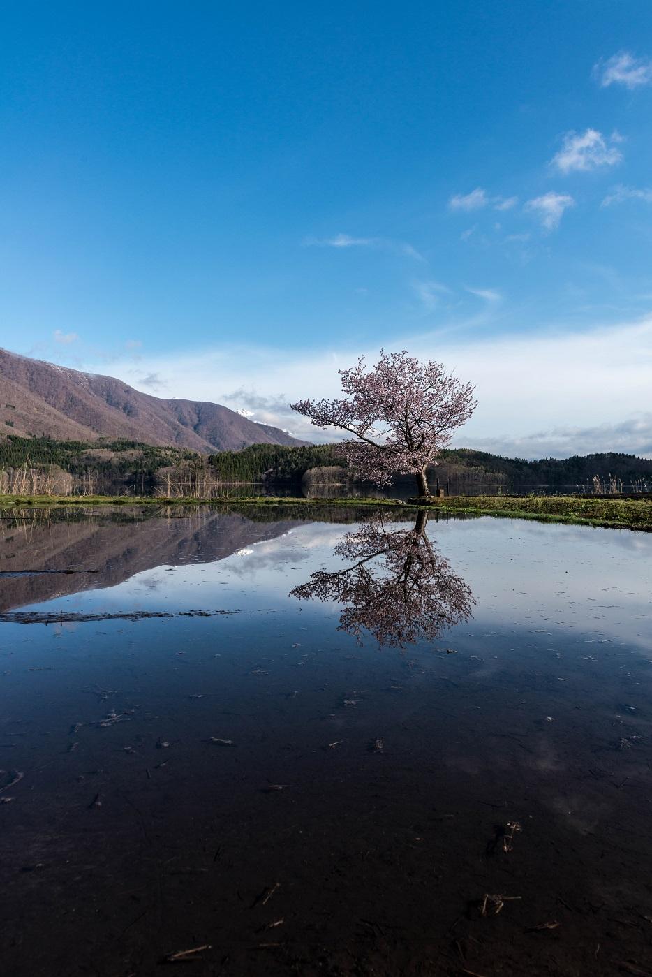 2016.04.23青木湖の一本桜5