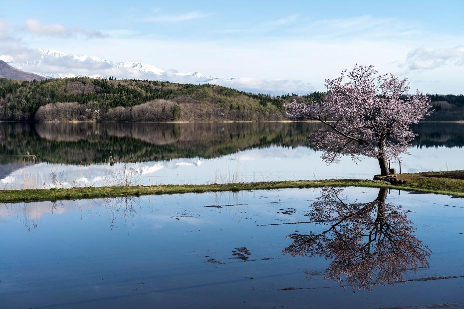 2016.04.23青木湖の一本桜2