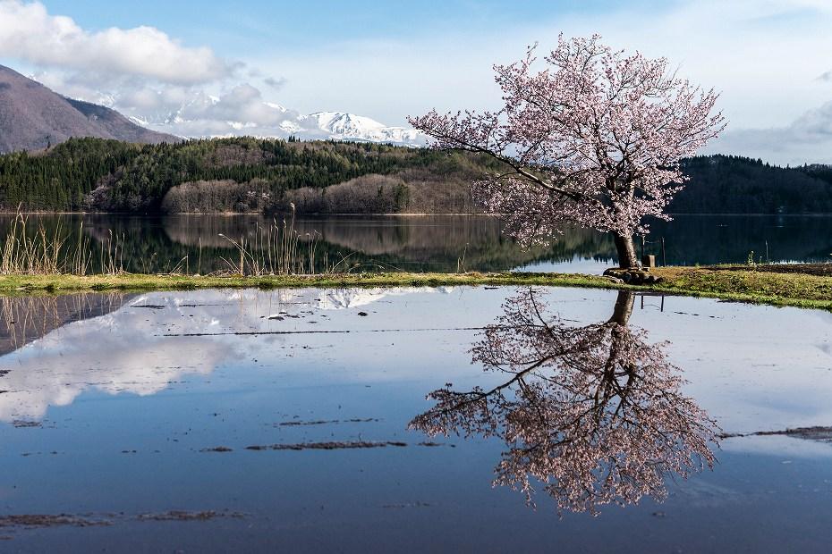 2016.04.23青木湖の一本桜1
