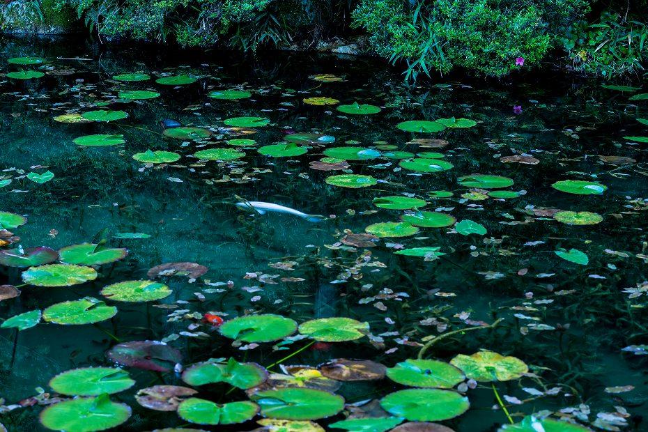 2016.05.29モネの池8