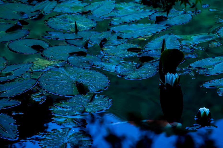 2016.05.29モネの池5