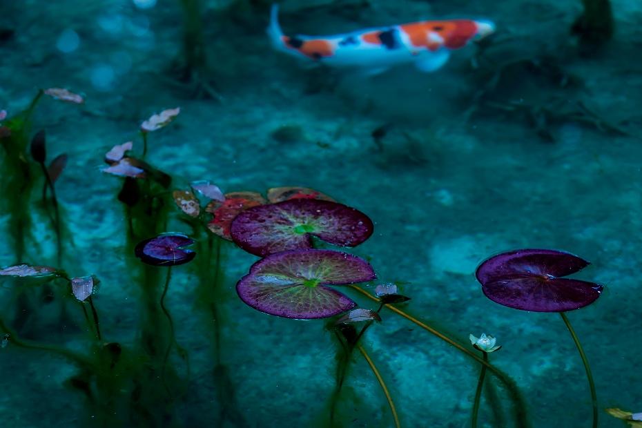 2016.05.29モネの池1