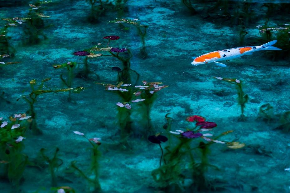 2016.05.29モネの池2