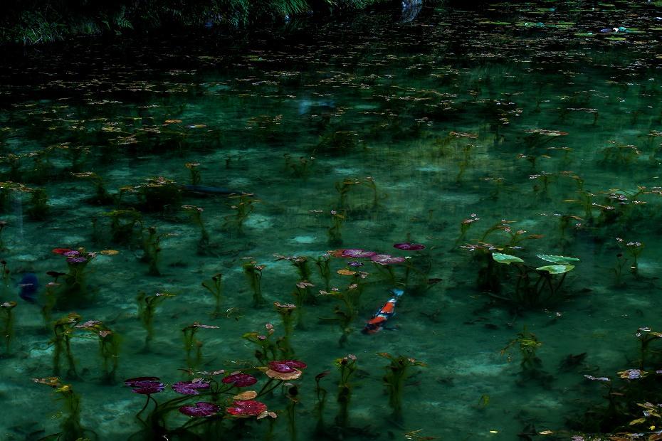 2016.05.28モネの池9