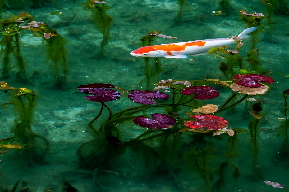 2016.05.28モネの池7
