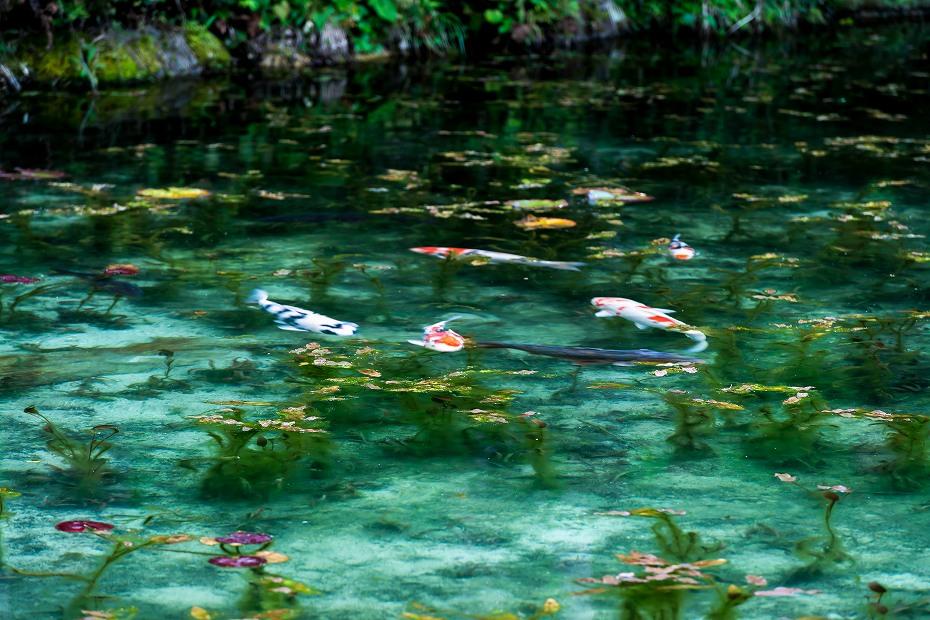 2016.05.28モネの池5