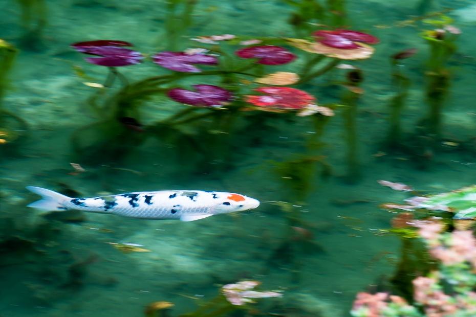 2016.05.28モネの池3