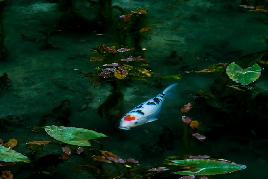 2016.05.28モネの池2