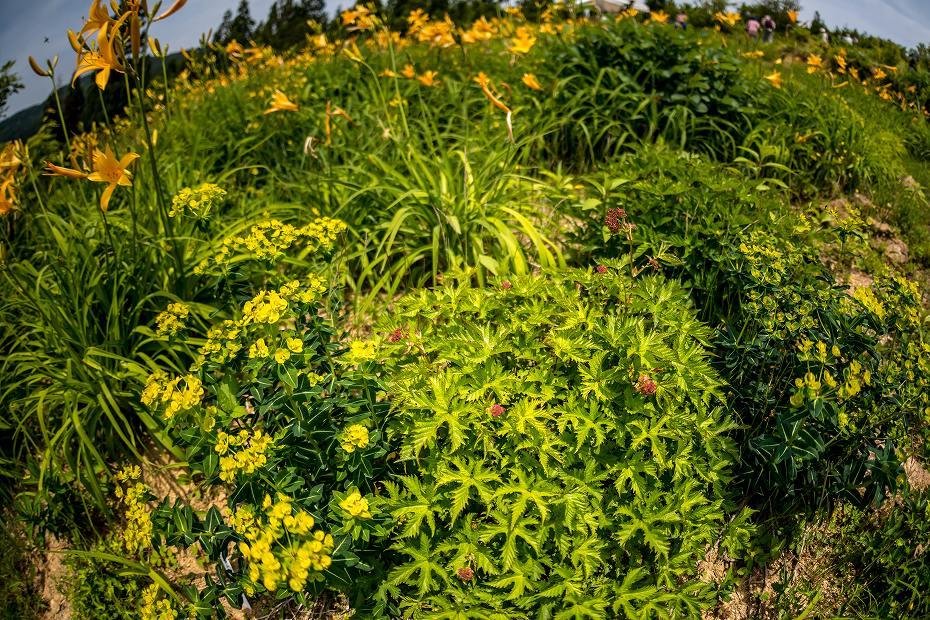 2016.06.06白山高山植物園の花12