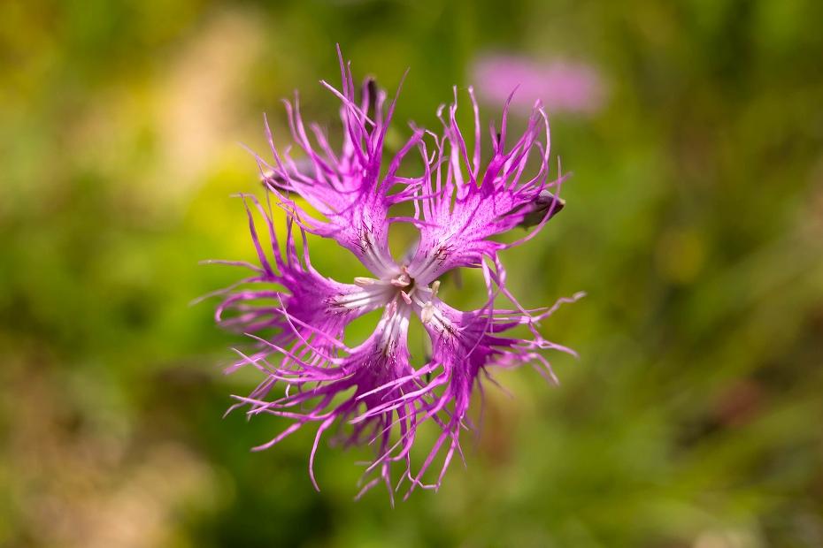 2016.06.06白山高山植物園の花11