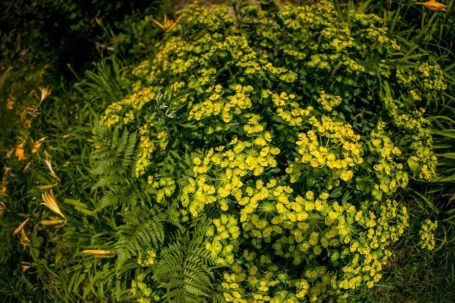 2016.06.06白山高山植物園の花10