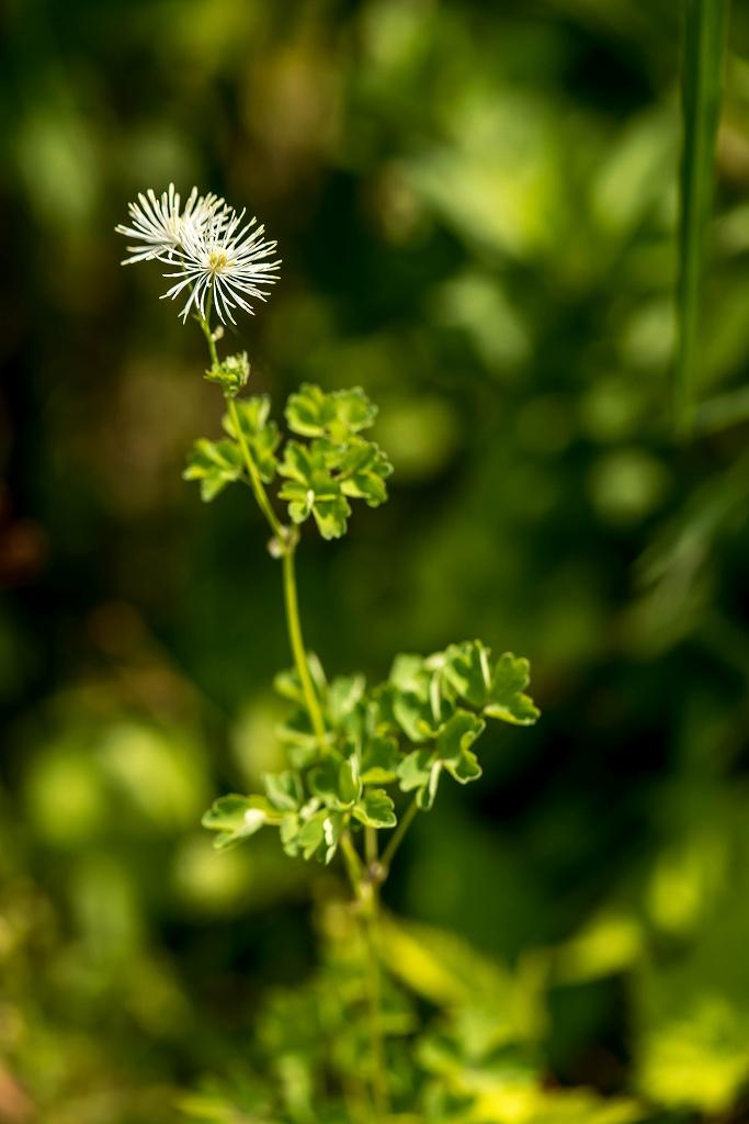 2016.06.06白山高山植物園の花8