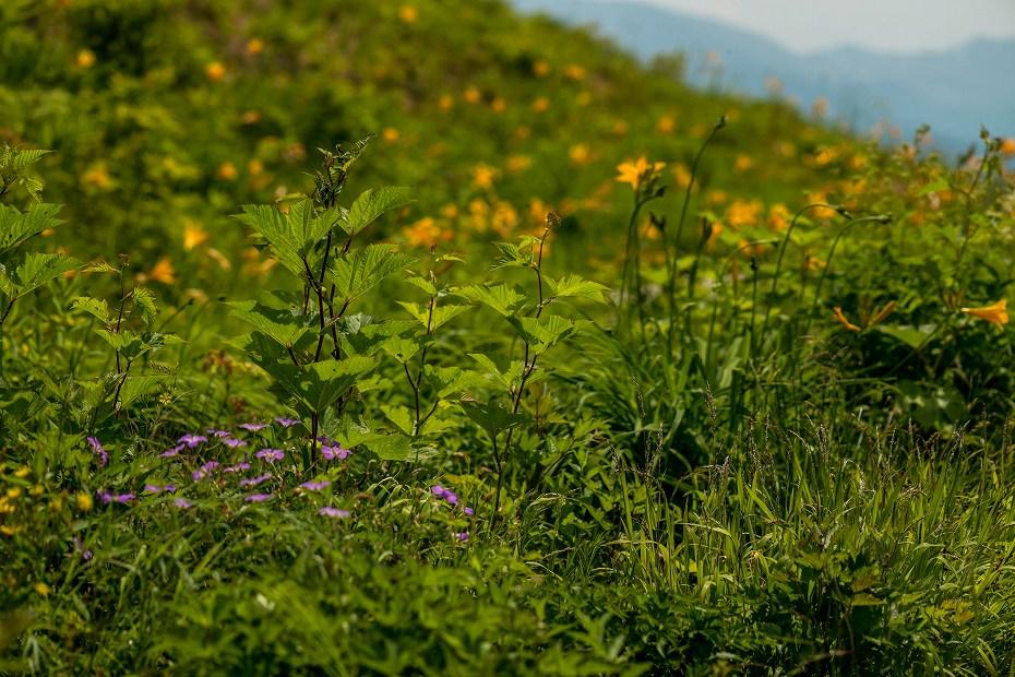 2016.06.06白山高山植物園の花7