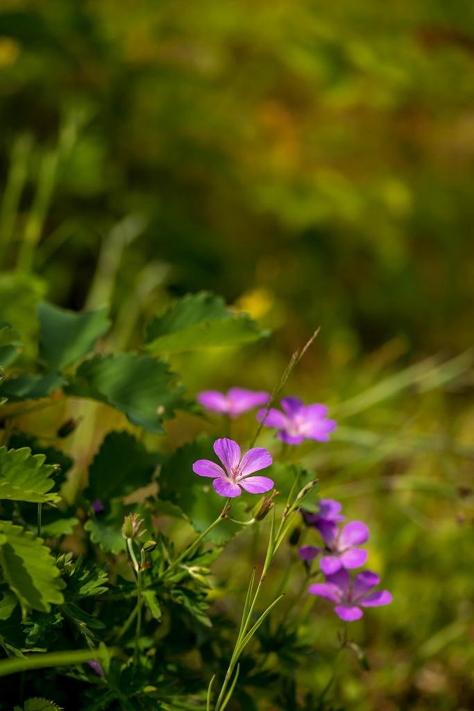 2016.06.06白山高山植物園の花4