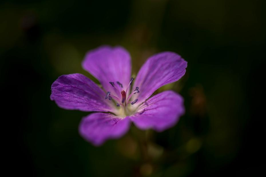 2016.06.06白山高山植物園の花5