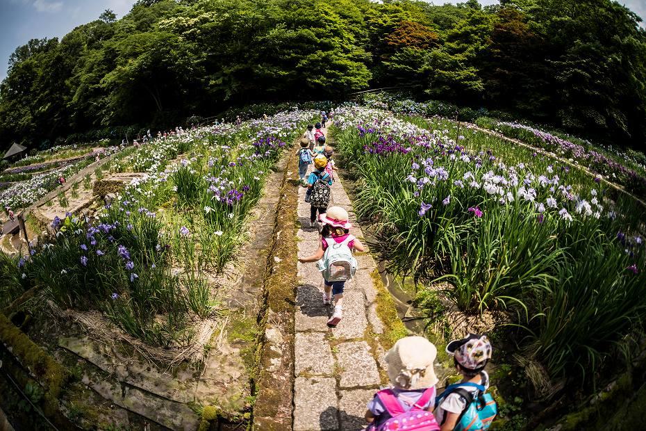 2016.06.15卯辰山菖蒲園9