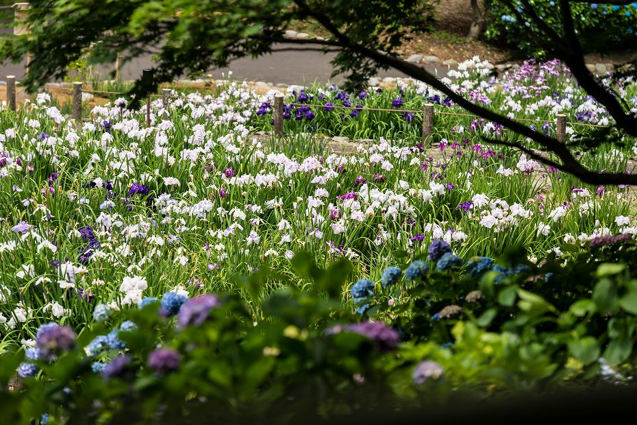 2016.06.15卯辰山菖蒲園1