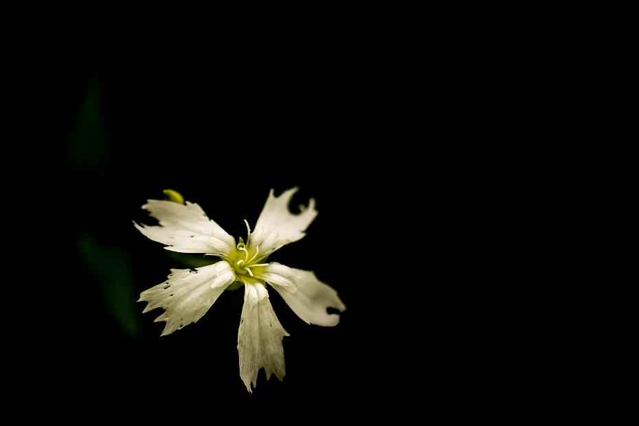 2016.06.24白山高山植物園14_センジュガンピ