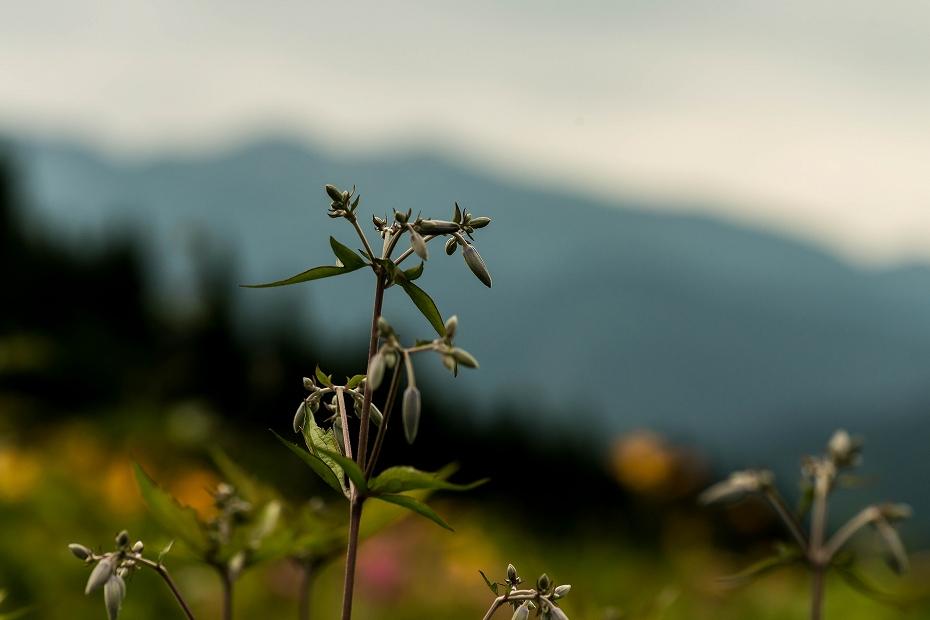 2016.06.24白山高山植物園11_クサボタンの蕾