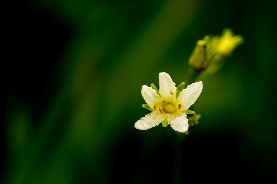2016.06.24白山高山植物園4_イワイチョウ