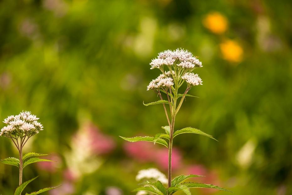2016.06.24白山高山植物園27_ヨツバヒヨドリ
