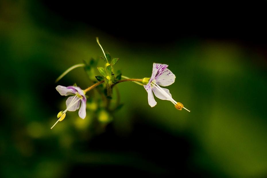 2016.06.24白山高山植物園25_ミヤマクワガタ