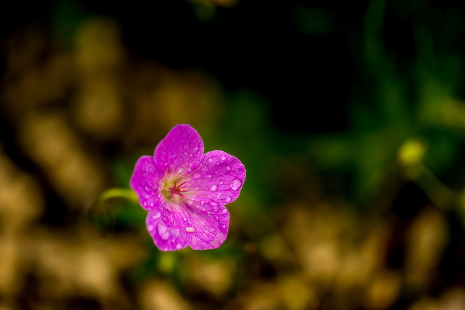 2016.06.24白山高山植物園22_ハクサンフウロ