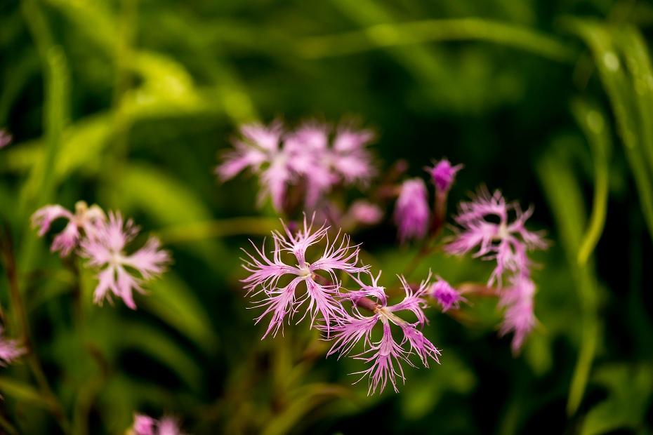 2016.06.24白山高山植物園17_タカネナデシコ