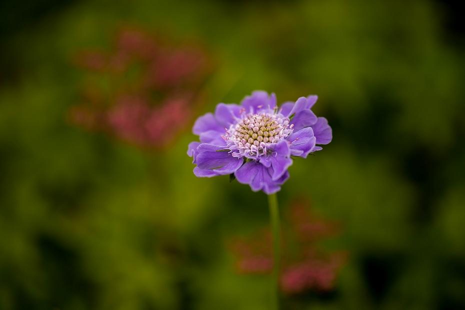2016.06.24白山高山植物園18_タカネマツムシソウ