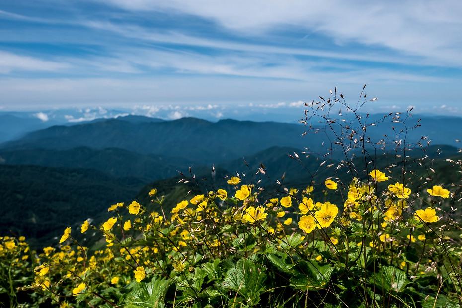 2016.07.11観光新道を彩る花たち23ミヤマキンポウゲかな