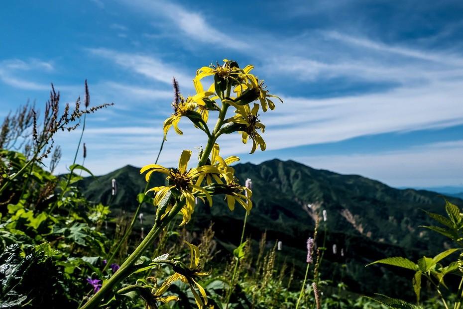 2016.07.11観光新道を彩る花たち14オタカラソウ