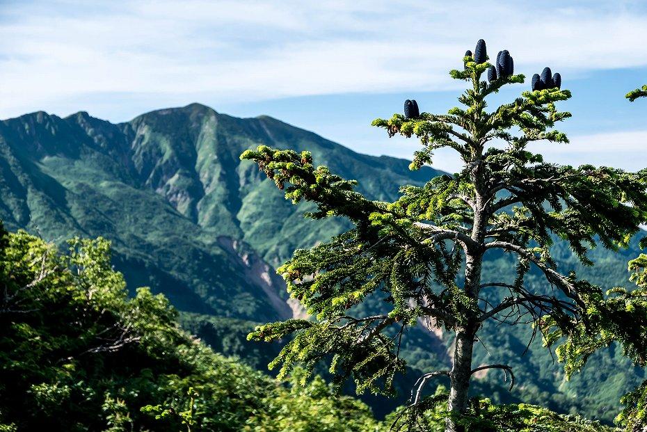 2016.07.11観光新道を彩る花たち7オオシラビソの毬果