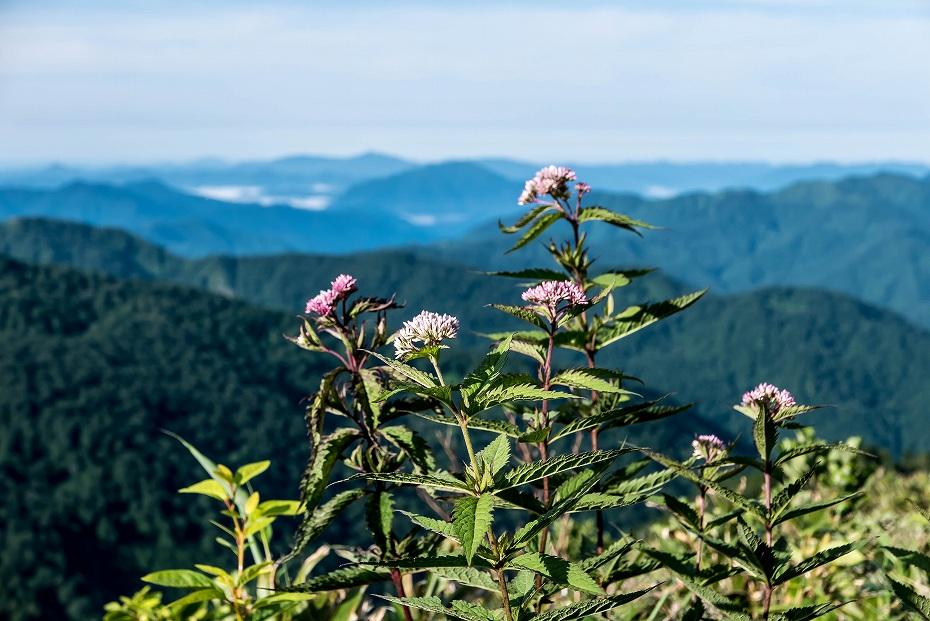 2016.07.11観光新道を彩る花たち2ヨツバヒヨドリ