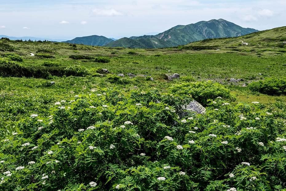 2016.07.11弥陀ヶ原を彩る花たち2ナナカマド