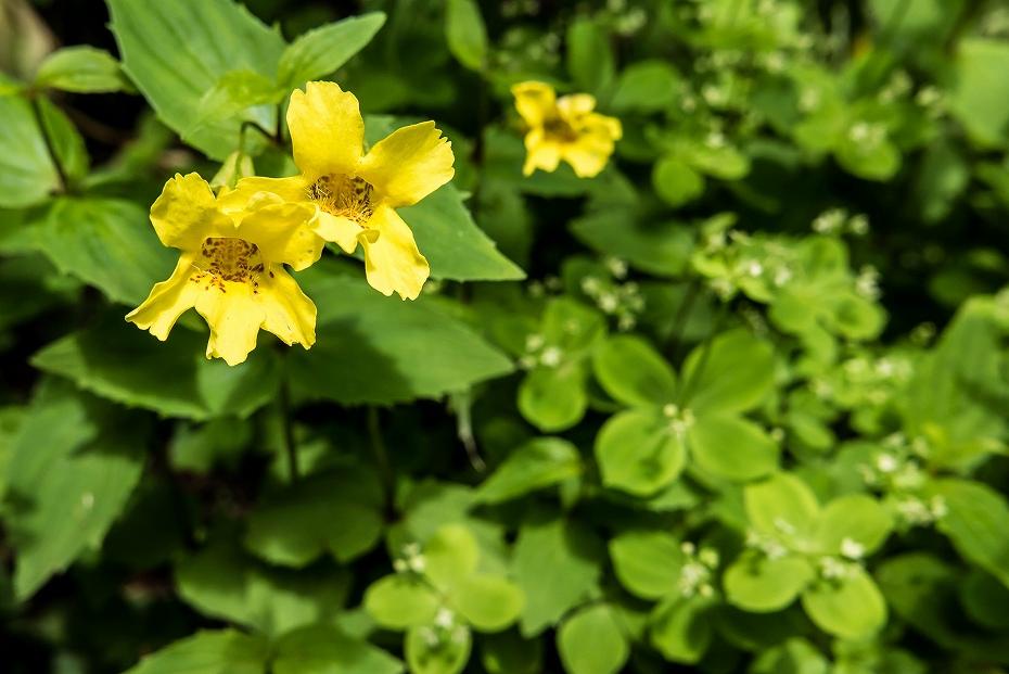 2016.07.11砂防新道を彩る花たち14オオバミゾホオズキ