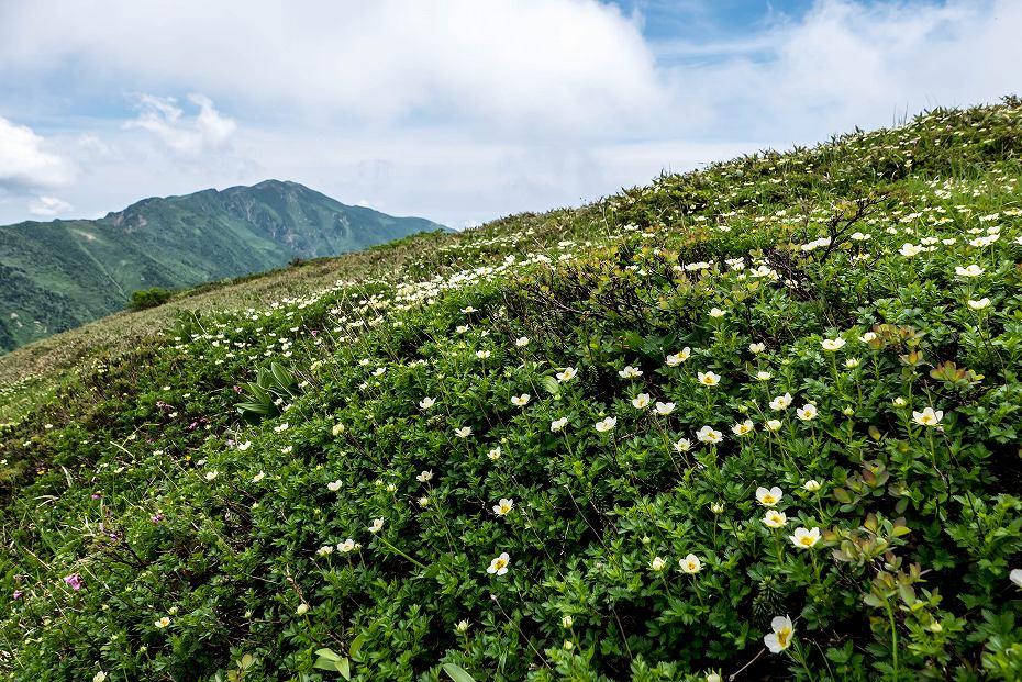 2016.07.11エコーラインを彩る花たち7チングルマ
