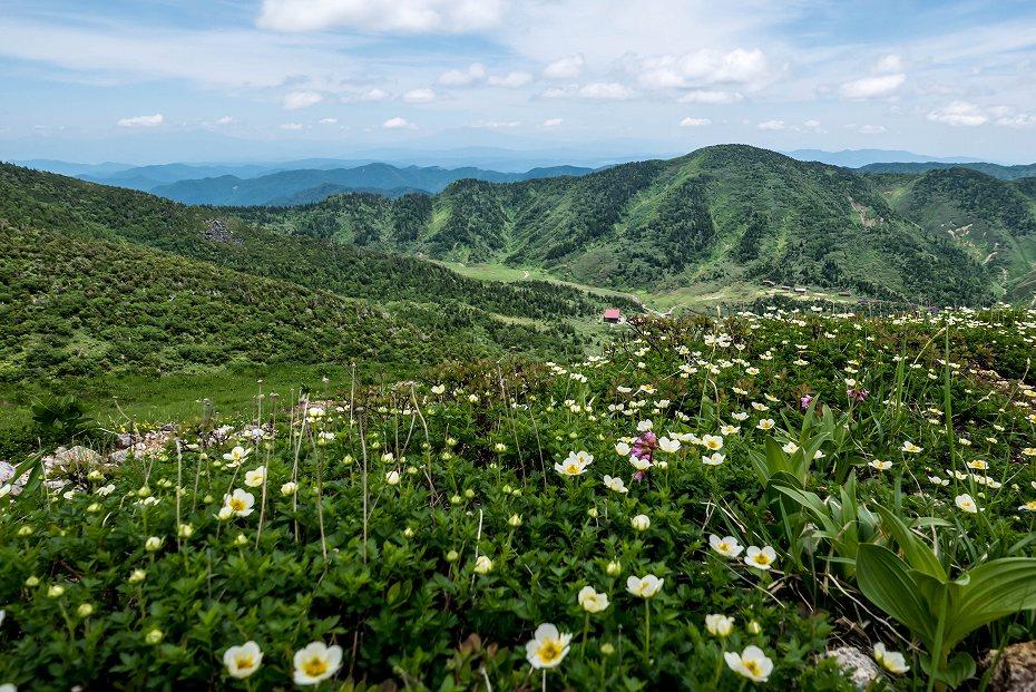 2016.07.11エコーラインを彩る花たち5チングルマ