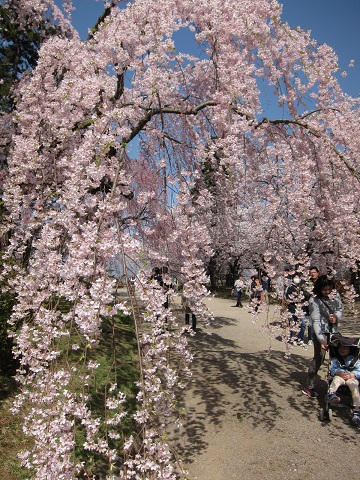 枝垂桜IMG_4147