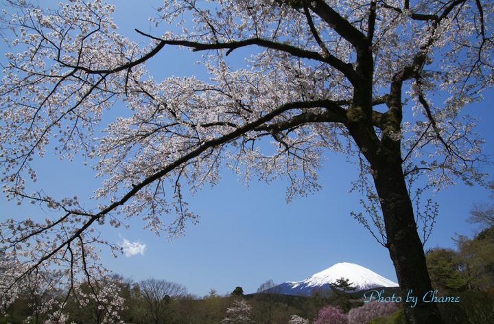 霊園の桜-141