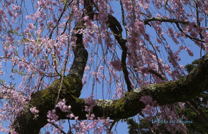 霊園の桜-137