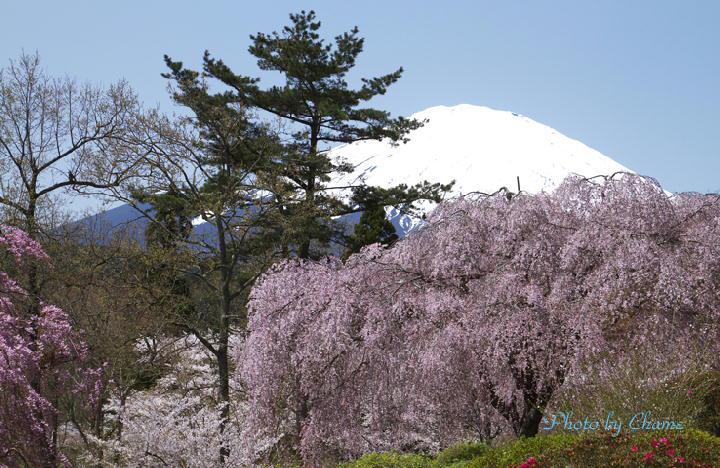 霊園の桜-148