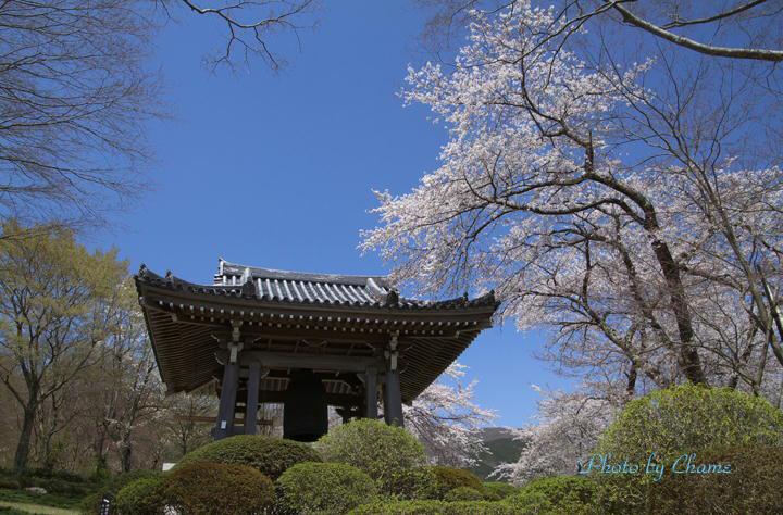 霊園の桜-162