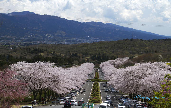 霊園の桜-189