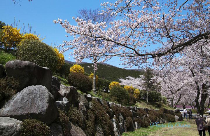 霊園の桜-184