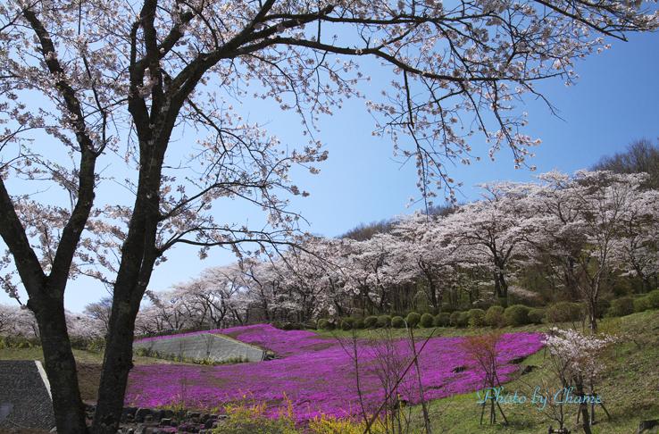 霊園の桜-207