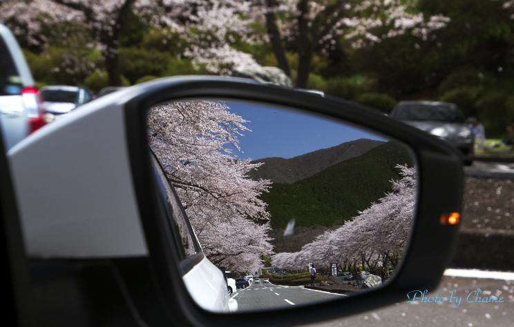 霊園の桜-217