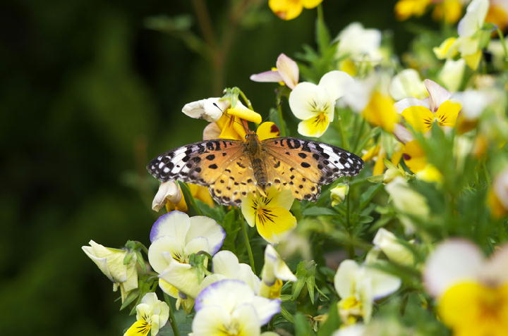 蝶々-536
